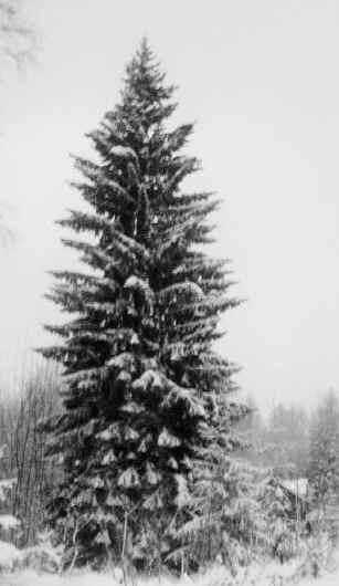 vintergran